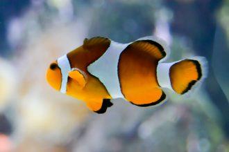 Nemo à l'Aquarium de La Rochelle